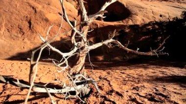 Grenar på skelettet träd i dammiga jorden — Stockvideo