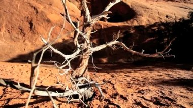 Branches on Skeletal Tree in Dusty Earth — Stock Video
