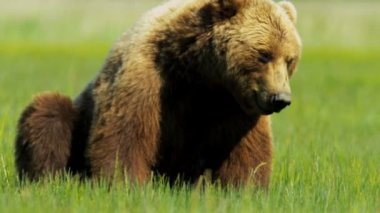 Canadian Brown Bear resting, British Columbia — Vídeo Stock