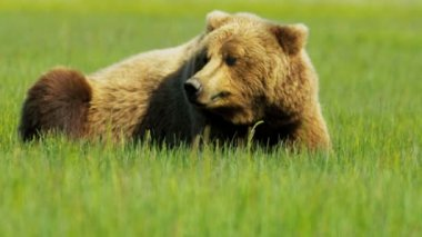 Brown Bear a graceful majestic giant, Canada — Stock Video