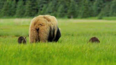 Brown female Bear feeding in rich Wilderness grasslands with her cubs, Alaska — Stock Video