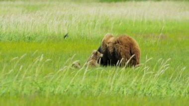 Young Brown Bear cubs nr adult female summer Wilderness, Alaska, USA — Video Stock