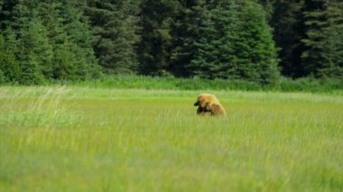 Canadian Brown Bear relieving itself of an itchy ear — Video Stock