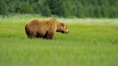 Женский бурый медведь кормления из богатой растительности, Национальный парк Кенай, Аляска — Стоковое видео