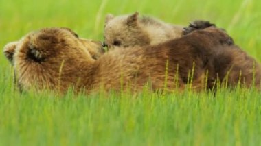 Brown Bear cub feeding from female Bear, North America — Stock Video