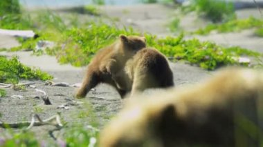Playful Alaskan Brown Bear cubs enjoying summer time Alaska, USA — Стоковое видео