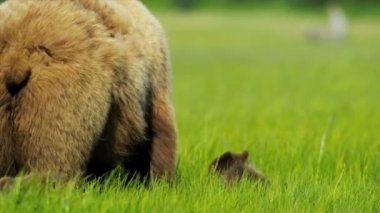 Brown female Bear with young cubs feeding from rich vegetation, Canada, British Columbia — Vidéo