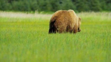 Зов природы бурый медведь кормления летом на пустыне луга, Аляска, Сша — Стоковое видео