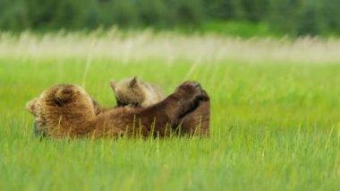 Female feeding young Brown Bear cubs Wilderness grasslands, Alaska, USA — Stock Video
