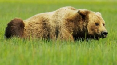 Brown Bear Ursus arctos in summer resting grassy Wilderness — Stock Video