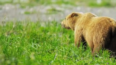Orso bruno godendo di erba fresca in estate wilderness alaska, usa — Video Stock