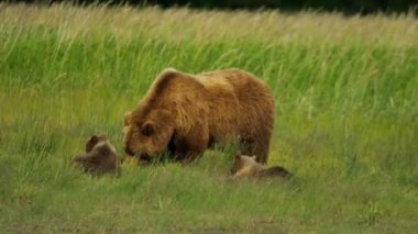 Female Bear with cubs feeding on summer vegetation,  Alaska, USA — Stock Video