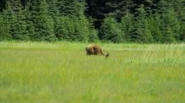 Brown Bear roaming summer grasslands nr Homer Alaska, USA — Stock Video
