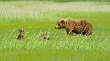 Young Brown Bear cubs relaxing guarded by adult female Wilderness grasslands — Stock Video