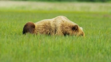 Brown Bear resting  in summer Wilderness grasslands, Alaska — Stock Video