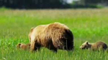 Running Canadian female Brown Bear with cubs, Canada — Stock Video