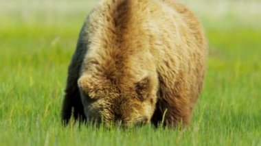Brown Bear in the Wilderness moving slowly, Canada — Stock Video