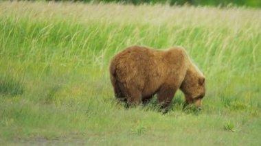 Alaskan Brown Bear Ursus arctos, feeding, Alaska — Stock Video