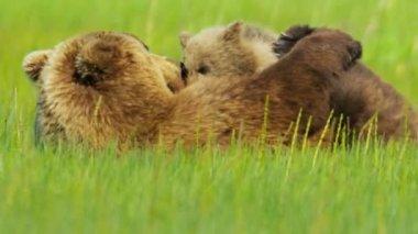 Alaskan Brown female Bear tenderly letting her baby cub feed, Alaska — Stock Video
