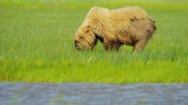 Orso bruno nutrendosi di ricca vegetazione in estate lago clark national park, alaska — Video Stock