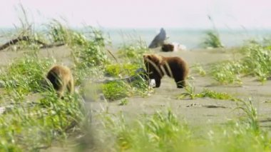 Young Brown Bear cubs playing nr female in summer sun, Alaska, USA — Stock Video
