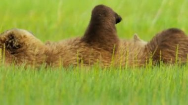 Alaskan Brown female Bear tenderly letting her baby cub feed, Alaska — Stock Video