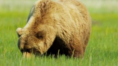 Brown Bear in the Wilderness moving slowly, Alaska, USA — Stock Video