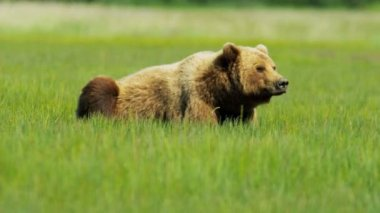 Brown Bear relaxing  Wilderness grasslands — Stock Video