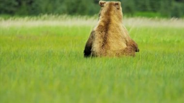 Large female Brown Bear moving with cubs grasslands  Alaska — Stock Video