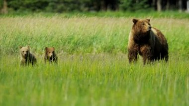 Female Brown Bear Ursus arctos, keeping guard over her playful cubs Alaska, USA — Stock Video