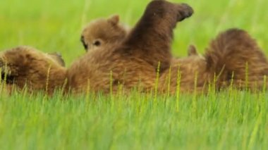 Brown Bear relaxing feeding cub, Canada — Stock Video