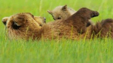 Female Brown Bear relaxing feeding cub — Stock Video