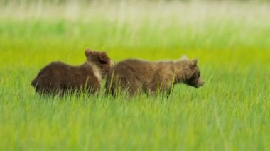Adult female and young Brown Bear cubs on Wilderness grasslands, Alaska, USA — Stock Video