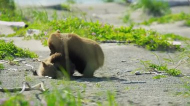 Playful Brown Bear cubs enjoying summer time Alaska, USA — Vídeo Stock