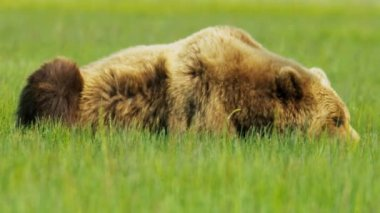 Brown Bear resting in summer Wilderness area, National Park, Alaska, USA — Stock Video