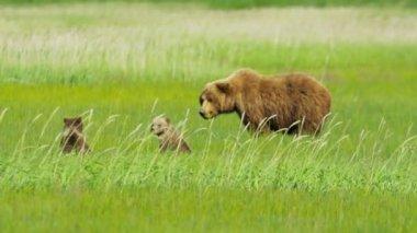 Mother Bear with young cubs feeding, Alaska, USA — Stock Video