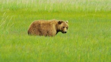 Female Bear Ursus arctos with young cubs feeding on vegetation Alaska, USA — Stock Video