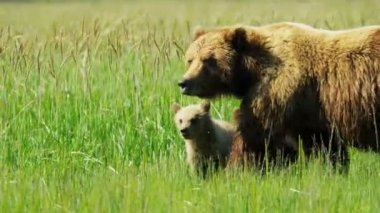 Running Brown Bear with cubs in summer grasslands  Alaska, USA — Stock Video