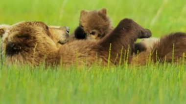 Female and baby Brown Bear cubs relaxing while feeding  Alaska, USA — Stock Video