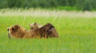 Young Brown Bear cubs nr adult female summer Wilderness, Canada — Stock Video