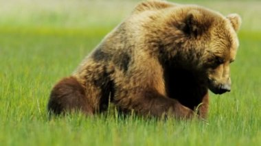 Large Alaskan Brown Bear resting in the summer sun,  Alaska, USA — Stock Video