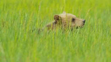 Canadian Brown Bear cub being aware Wilderness area Canada — Stock Video