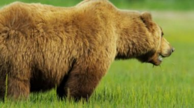 Brown Bear feeding, summer grasslands — Stock Video