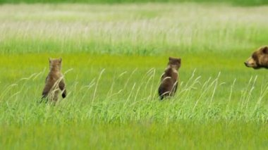 Young Brown Bear Ursus arctos cubs with adult female  Wilderness grasslands — Stock Video