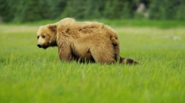 Female Bear with young cubs feeding Wilderness area Alaska, USA — Vídeo Stock
