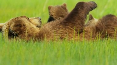 Brown Bear feeding cub, Canada — Stock Video