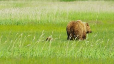 Brown Bear feeding with cubs summer on Wilderness grasslands — Stock Video