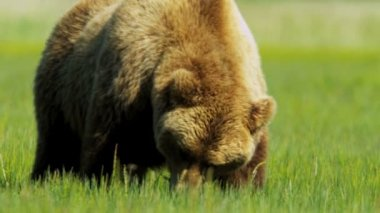 Brown Bear a graceful majestic giant, Canada — Vídeo de stock