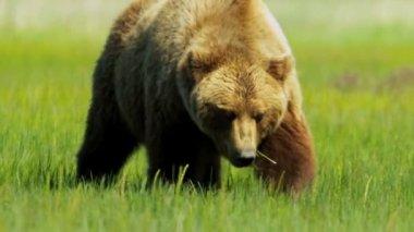 American Brown Bear feeding, Yosemite, USA — Stock Video