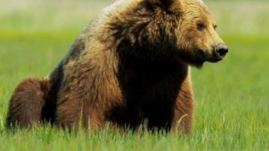 Brown Bear resting summer time after feeding — Wideo stockowe